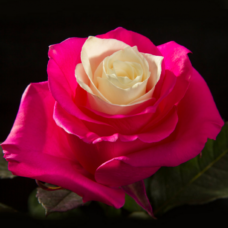 Pink & Center White 100 stems - ezrose