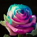 Pink, blue, light blue & white 100 stems