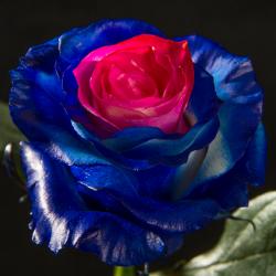 Ocean Blue & Pink 100 stems QB box