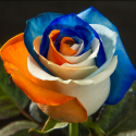 Blue, White & Orange 100 stems