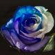 Blue, White & Purple 100 stems QB box