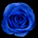 Blue Tinted Roses 100 stems